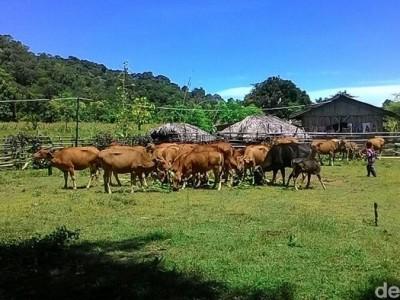DPR Minta Rumput Hijau Jadi Perhatian Program 1.000 Desa Sapi Kementan